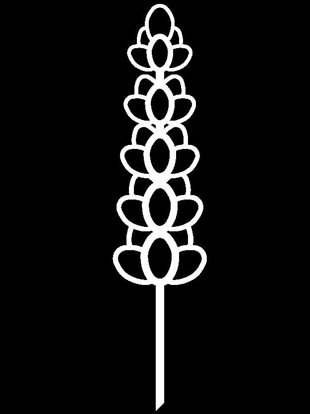 drawing lavender